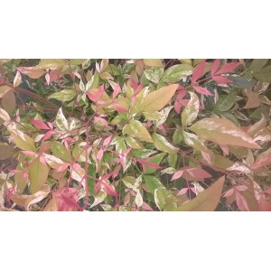 Nandina domestica 'Twilight'R