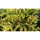 Juniperus communis 'Gold Schatz'