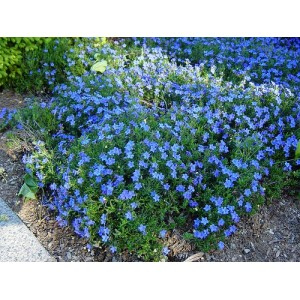 Lithodora diffusa 'Grace Ward'